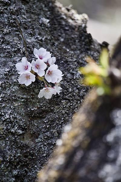 もう一つの桜_c0077395_7242752.jpg