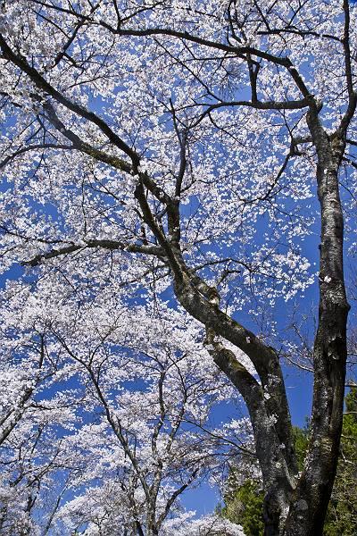 もう一つの桜_c0077395_772898.jpg