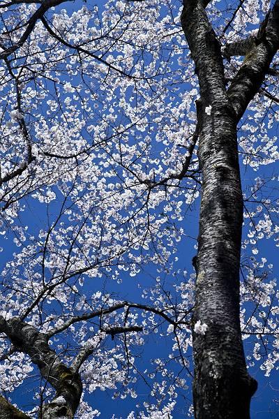 もう一つの桜_c0077395_774825.jpg