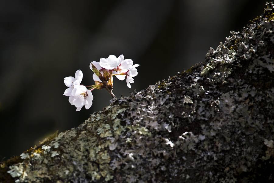 もう一つの桜_c0077395_78695.jpg