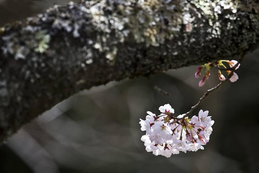 もう一つの桜_c0077395_794629.jpg