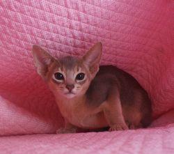 アビシニアン子猫  ルディ 家族募集 _e0033609_16553027.jpg