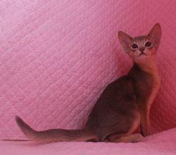 アビシニアン子猫  ルディ 家族募集 _e0033609_1655375.jpg