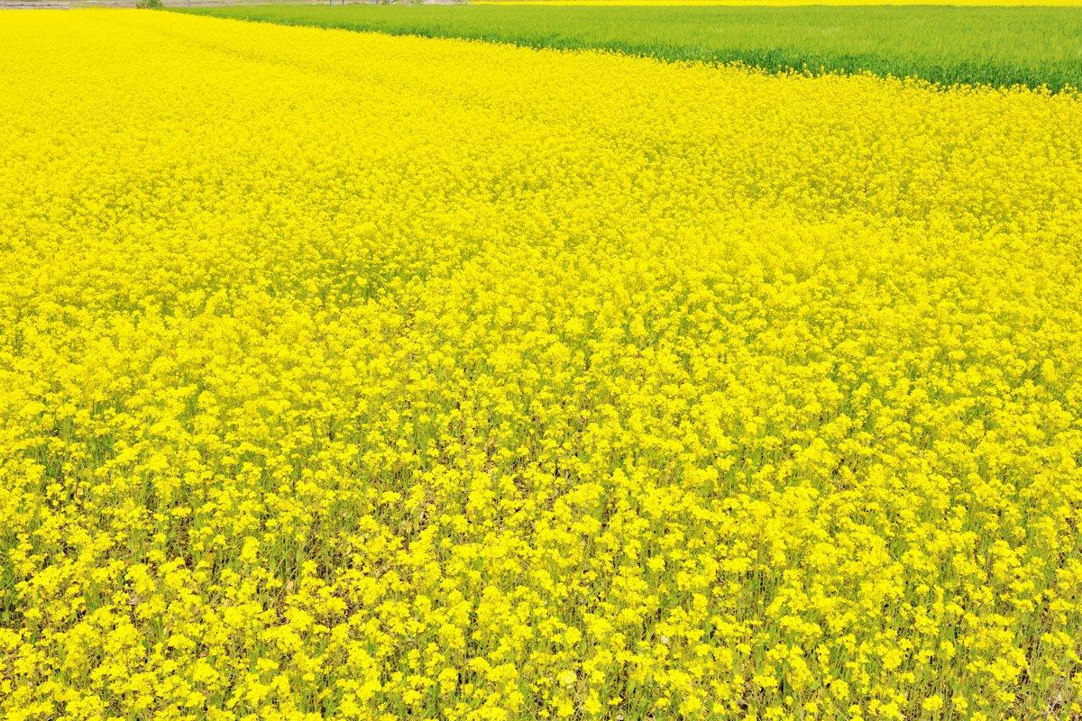 黄色の海_c0220824_20204651.jpg