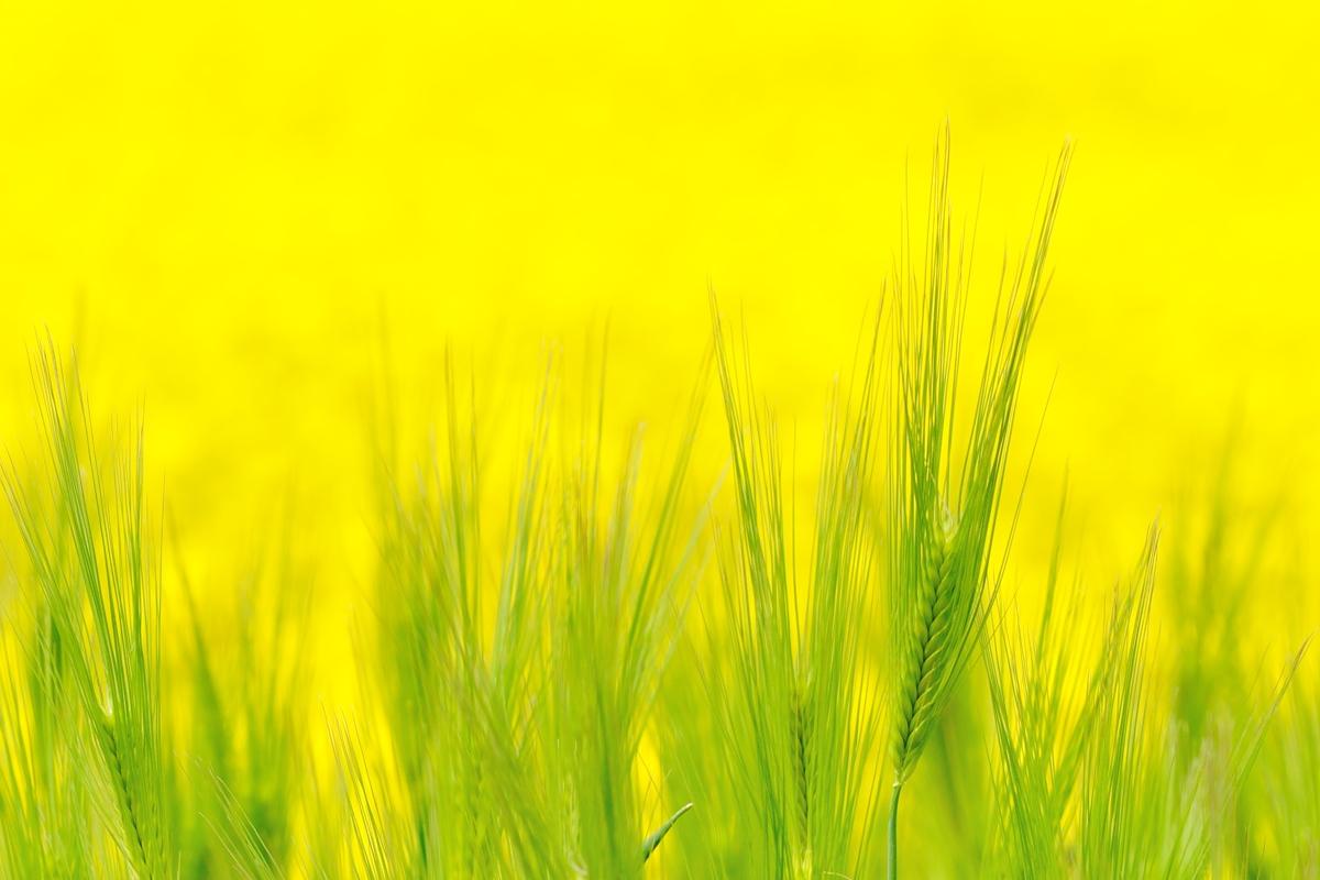 黄色の海_c0220824_2021129.jpg