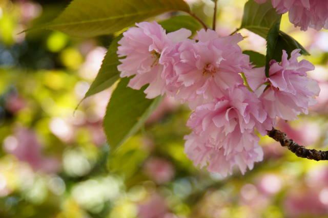 八重桜の季節_a0257652_2225409.jpg