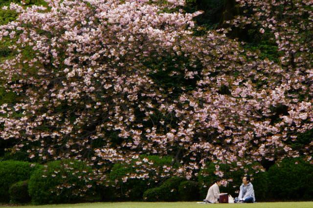 八重桜の季節_a0257652_22263975.jpg