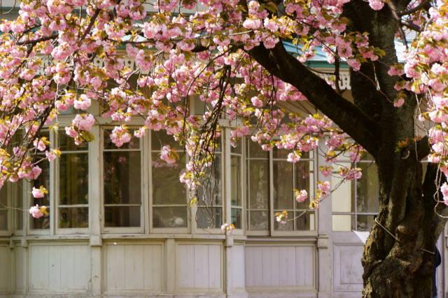 八重桜の季節_a0257652_22265946.jpg