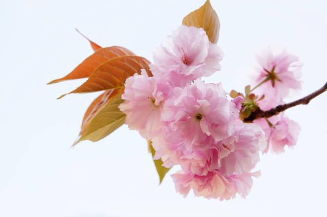 八重桜の季節_a0257652_22272716.jpg