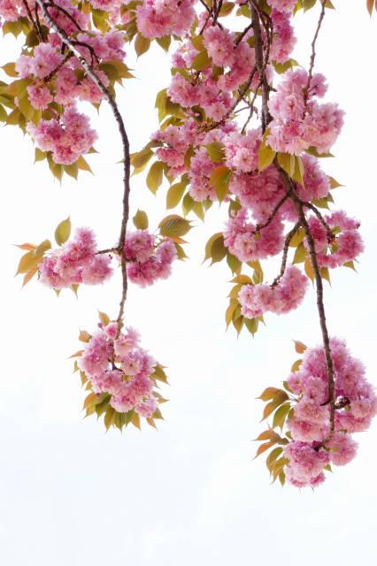 八重桜の季節_a0257652_22274031.jpg