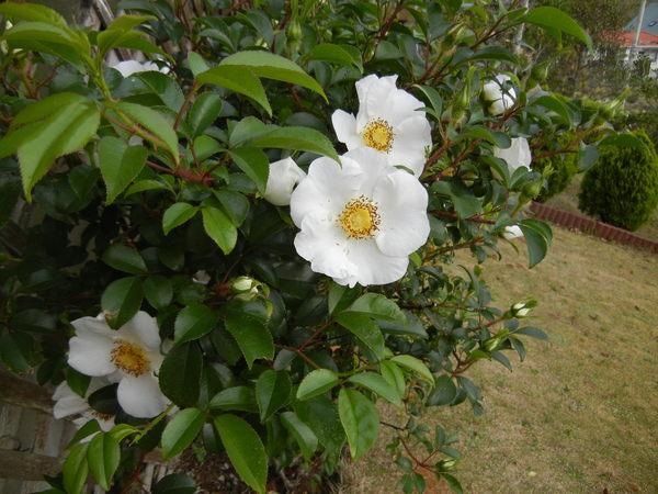 '13,4,17(木)ポピーが咲いたし、ナニワイバラも~!_f0060461_2010165.jpg