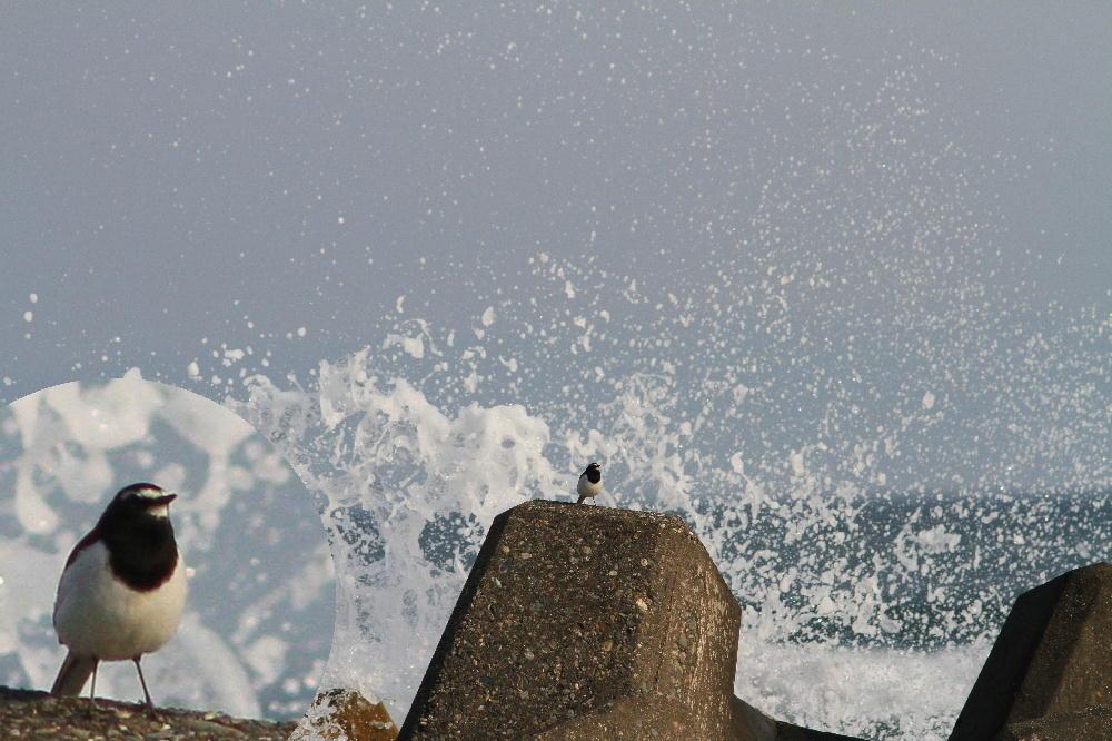 セグロセキレイ  海辺も心地よい。  2013.4.14新潟県_a0146869_1534410.jpg
