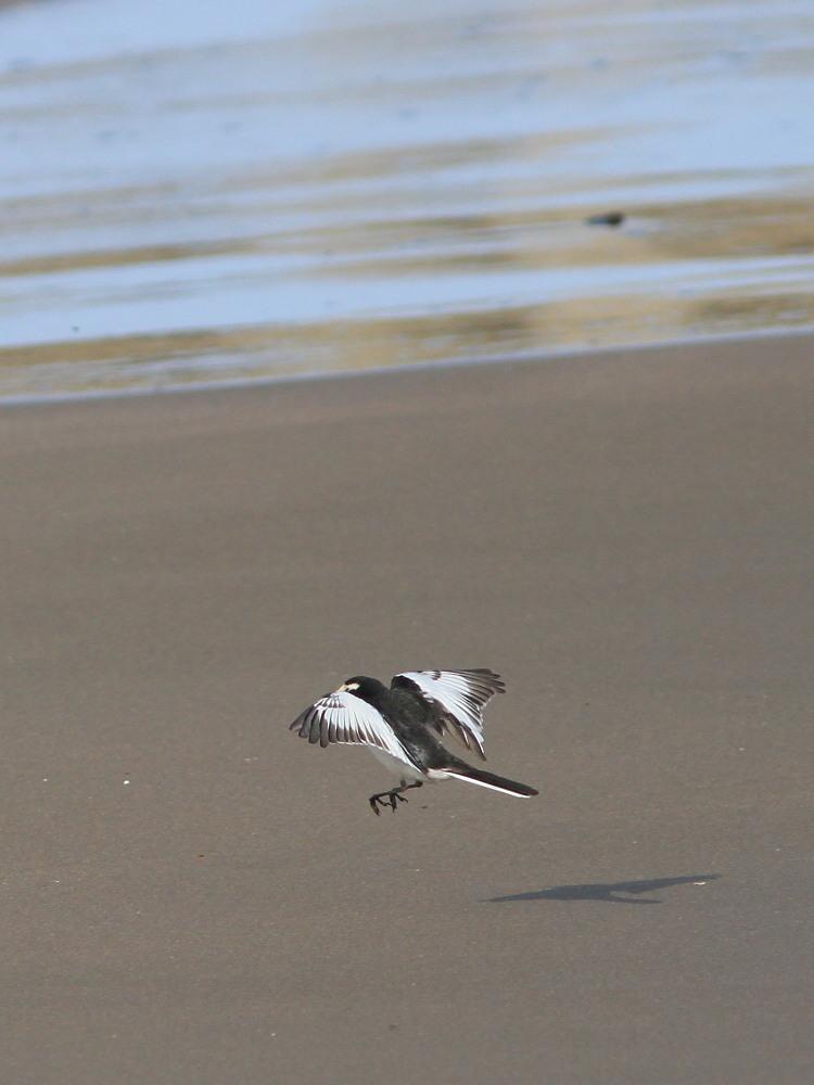 セグロセキレイ  海辺も心地よい。  2013.4.14新潟県_a0146869_1541481.jpg