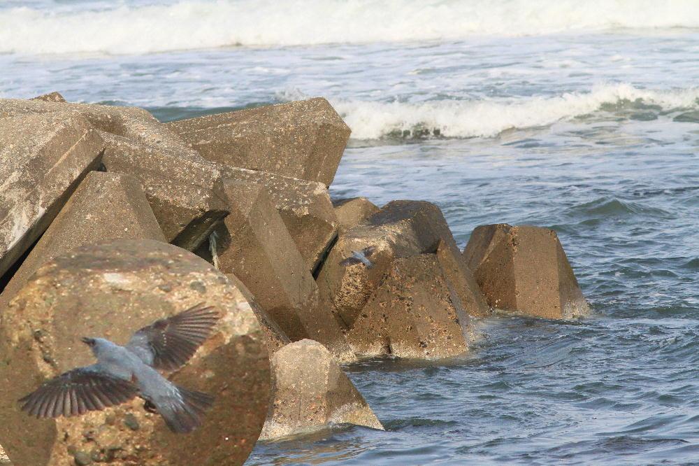 セグロセキレイ  海辺も心地よい。  2013.4.14新潟県_a0146869_205141.jpg
