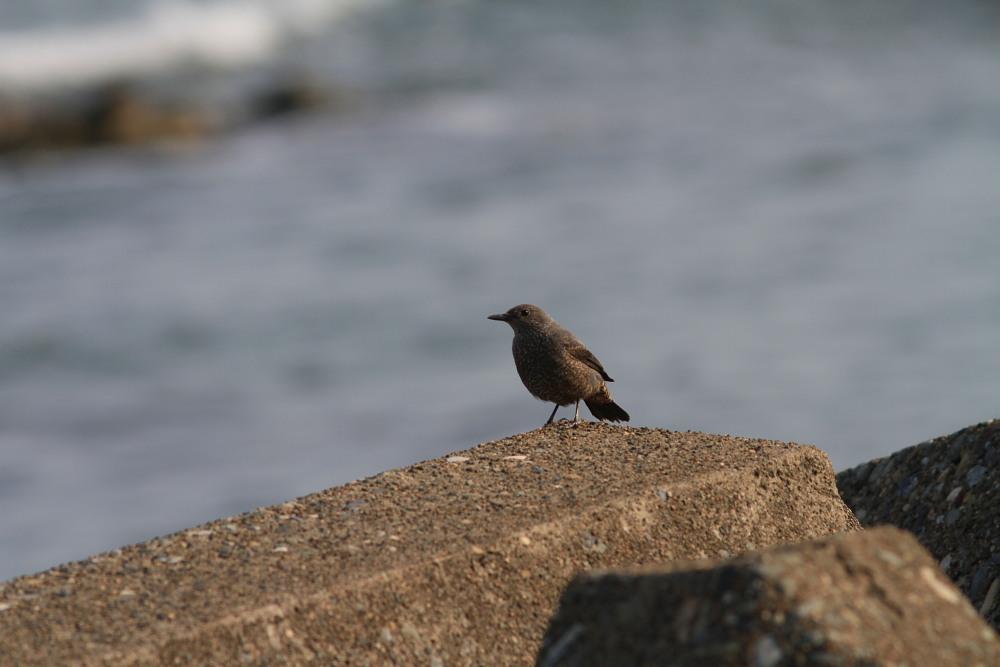 セグロセキレイ  海辺も心地よい。  2013.4.14新潟県_a0146869_205999.jpg