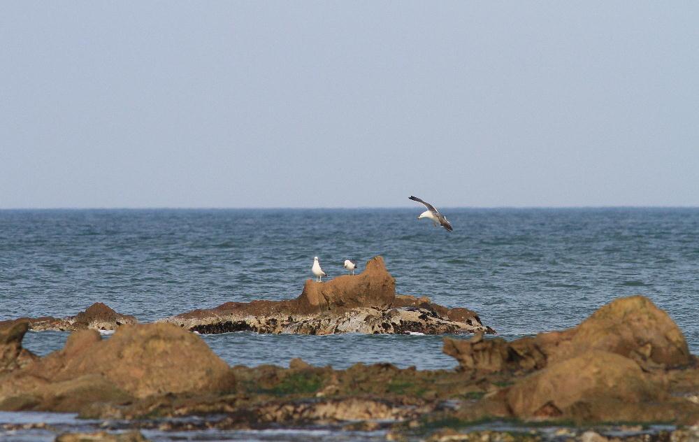 セグロセキレイ  海辺も心地よい。  2013.4.14新潟県_a0146869_225078.jpg