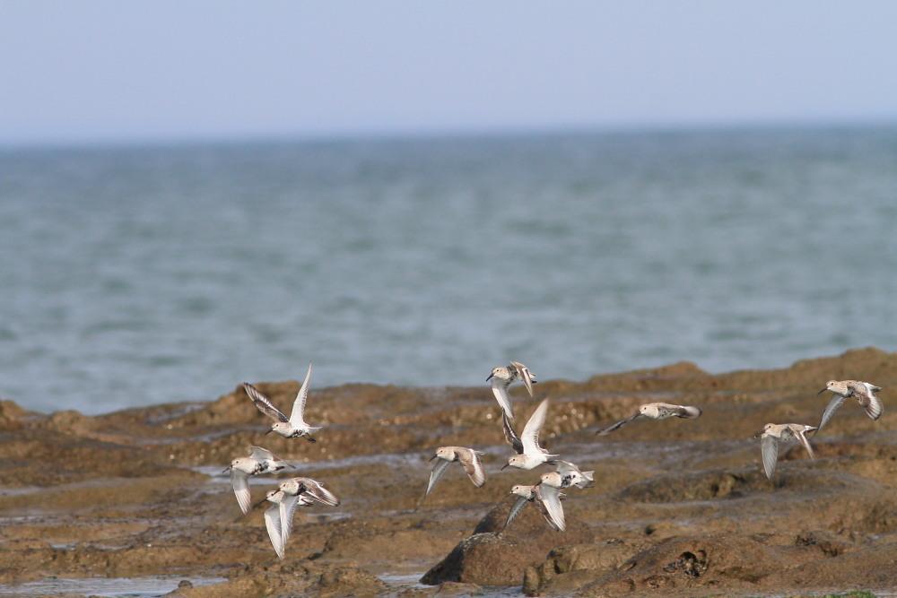 セグロセキレイ  海辺も心地よい。  2013.4.14新潟県_a0146869_252225.jpg