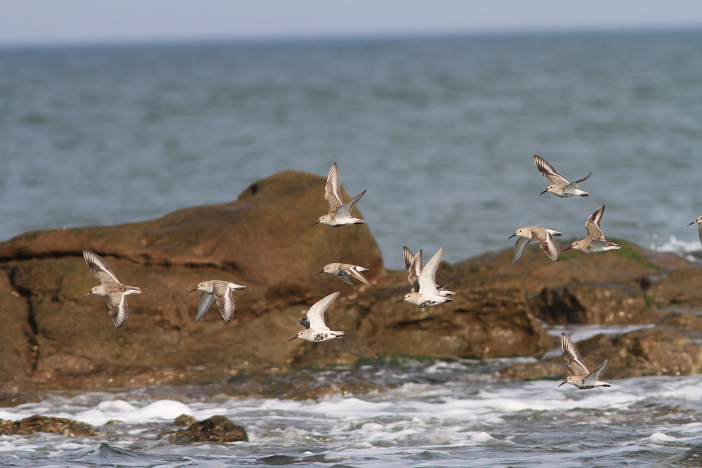 セグロセキレイ  海辺も心地よい。  2013.4.14新潟県_a0146869_253278.jpg