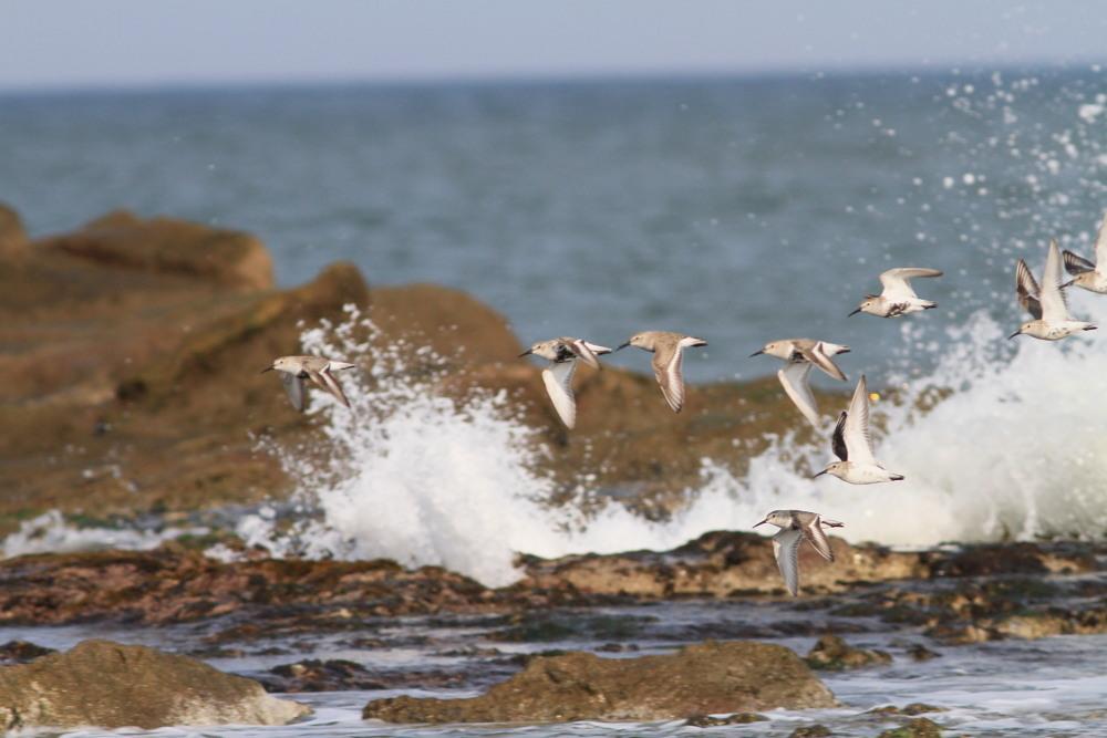 セグロセキレイ  海辺も心地よい。  2013.4.14新潟県_a0146869_254285.jpg
