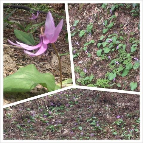 カタクリの花が全盛期です。_d0182179_18584635.jpg