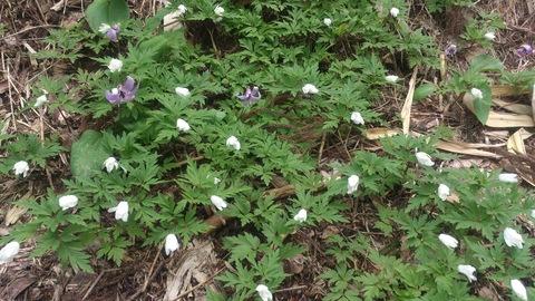 カタクリの花が全盛期です。_d0182179_19181338.jpg