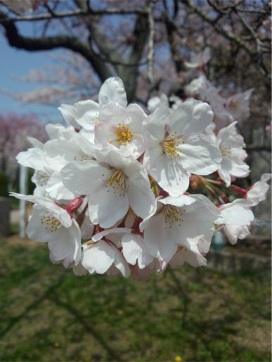 お花見してきました。_a0093189_033747.jpg
