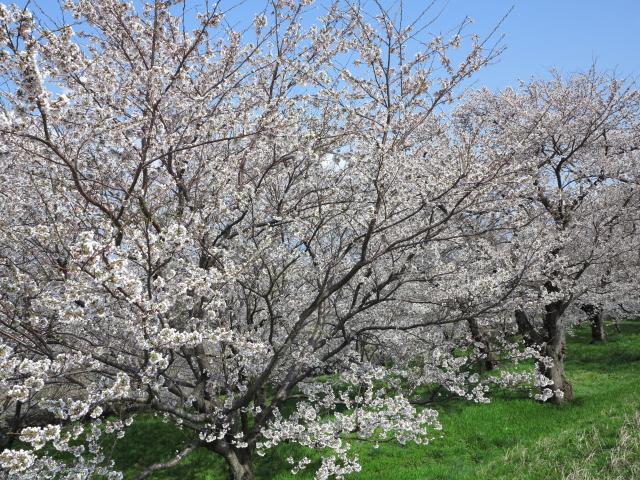 大河津分水の桜_e0169421_17243444.jpg