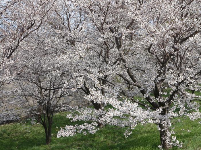 大河津分水の桜_e0169421_17251514.jpg