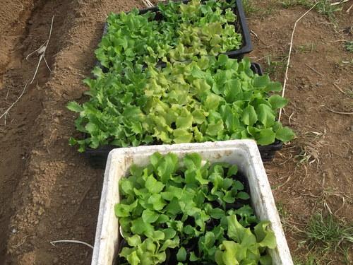 野菜を植え付けたが....寒いです。_b0137932_2058951.jpg