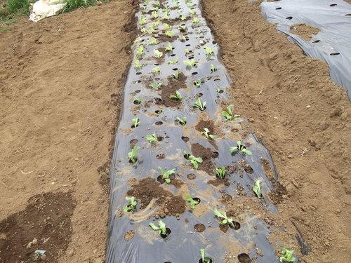 野菜を植え付けたが....寒いです。_b0137932_2059894.jpg