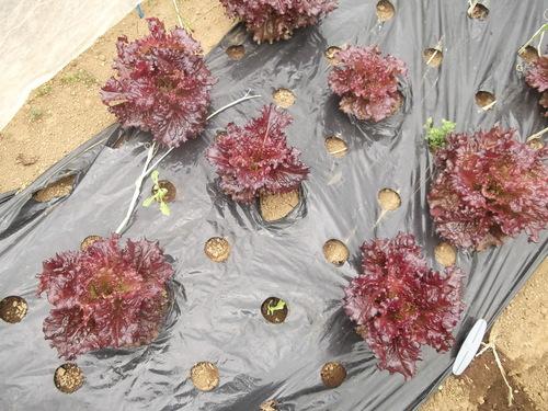 野菜を植え付けたが....寒いです。_b0137932_210937.jpg