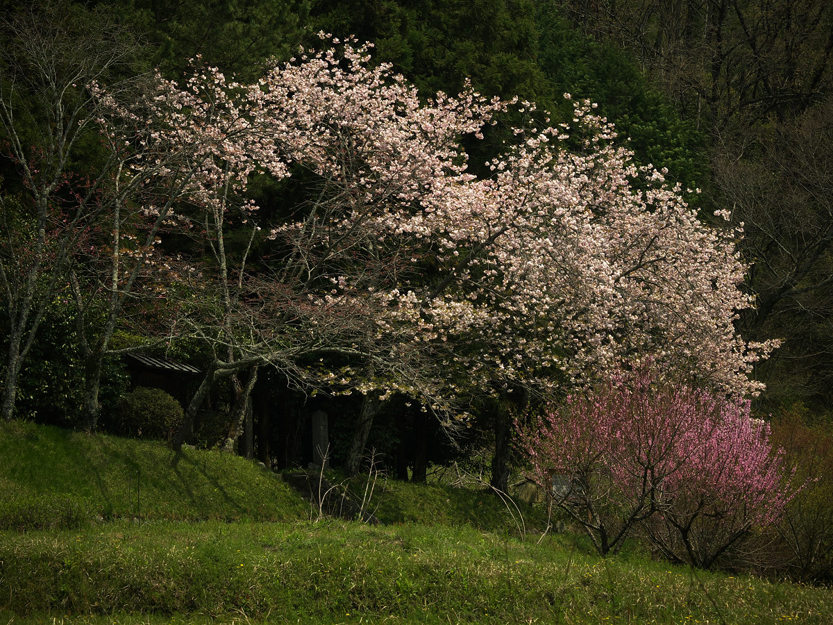 桜 2013 <奈良 鏡女王墓> オフ会  _f0021869_20332135.jpg