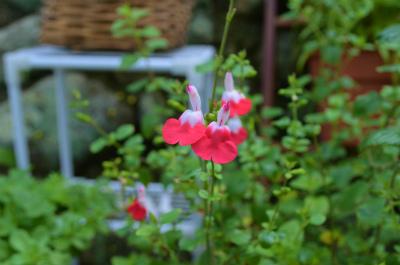 カフェ「ホットリップス」さんに咲くホットリップス_e0028387_2230948.jpg