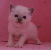 ラグドール子猫 家族募集  バイカラー ミテッド_e0033609_1132113.jpg