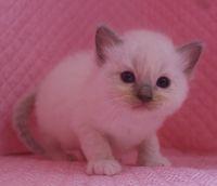 ラグドール子猫 家族募集  バイカラー ミテッド_e0033609_1143059.jpg