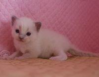 ラグドール子猫 家族募集  バイカラー ミテッド_e0033609_1163046.jpg