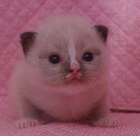 ラグドール子猫 家族募集  バイカラー ミテッド_e0033609_1173158.jpg