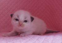 ラグドール子猫 家族募集  バイカラー ミテッド_e0033609_1185964.jpg