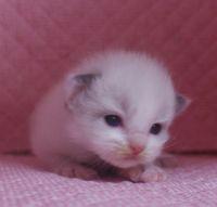 ラグドール子猫 家族募集  バイカラー ミテッド_e0033609_1204474.jpg