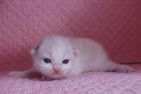 ラグドール子猫 家族募集  バイカラー ミテッド_e0033609_1211882.jpg