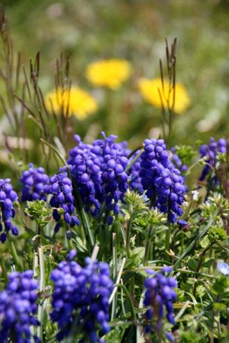 菜園は春の盛り2_e0048413_23242090.jpg