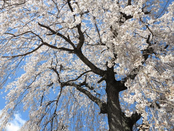 しだれ桜_e0169421_20253382.jpg
