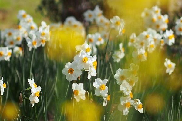 水仙と桜は・・・  _f0214527_1001687.jpg