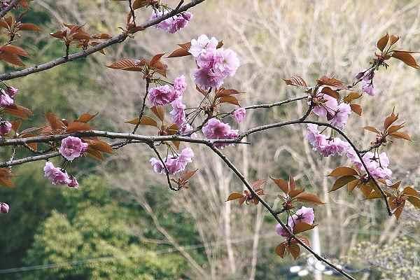 水仙と桜は・・・  _f0214527_10514328.jpg