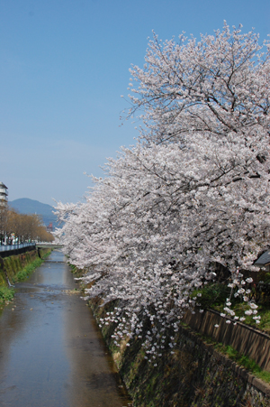 天神川の桜_e0195830_828919.jpg