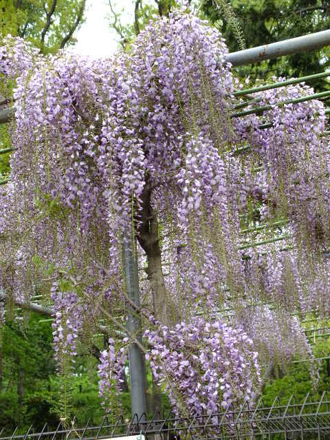 4月19日 小山内裏公園_e0145782_210492.jpg