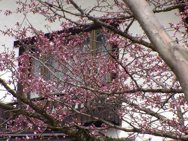 4/20 ちょっと咲く桜さん_a0140584_1330033.jpg