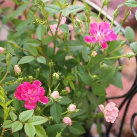 レンゲ咲きのミニバラ_a0292194_2110059.jpg