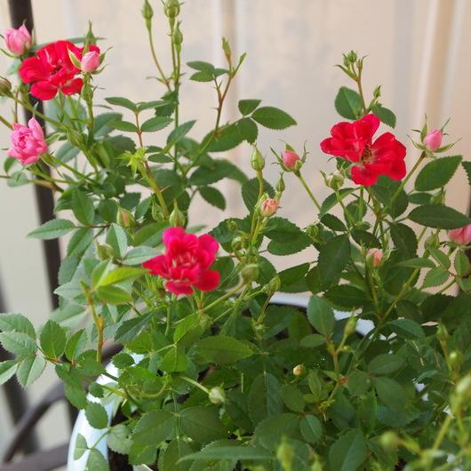 レンゲ咲きのミニバラ_a0292194_22111321.jpg