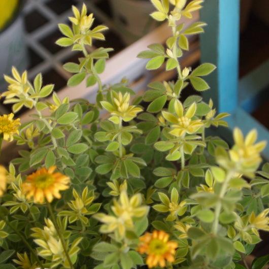 寄せ植え用の葉物植物ー第2弾_a0292194_22581055.jpg